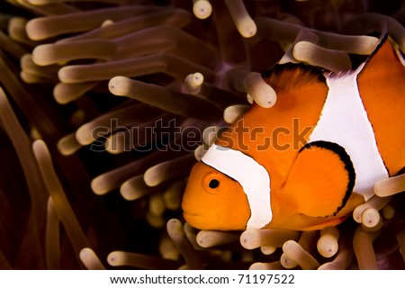 Clown anemonefish (Amphiprion percula) swimming across the shot in an anemone. Taken in the Wakatobi, Indonesia - stock photo