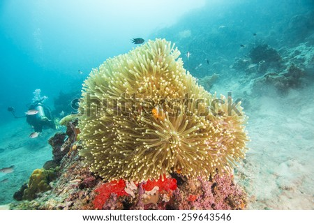 Clown Anemonefish in Anemone - stock photo