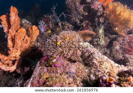 Clown Anemonefish in Anemone underwater