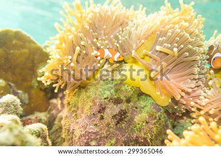 Clown anemonefish in colorful anemone - stock photo