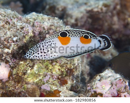 Clown coris in Red sea, Egypt, Hurghada - stock photo