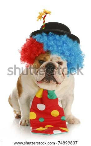 clown - english bulldog wearing clown costume on white background - stock photo