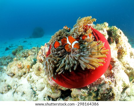 Clown fish family in red sea anemone - stock photo