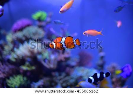 clown fish in aquarium for background - stock photo
