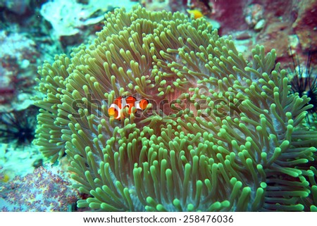 clown fish Nemo in anemone - scuba diving at the coral reef in Thailand - stock photo