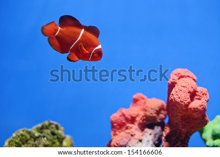clown fish or anemone fish  - stock photo