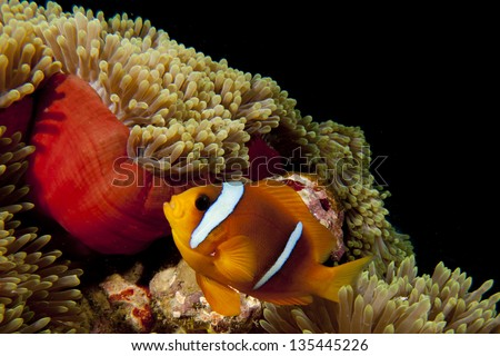 Clown red fish in red anemone in the black background - stock photo