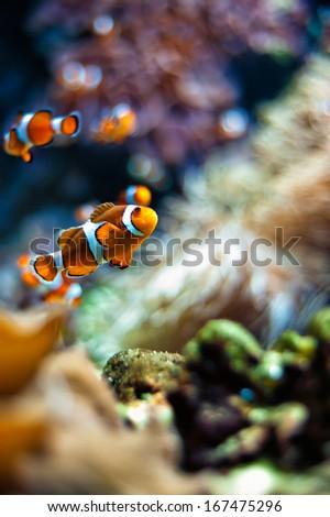 Clownfish a beautiful closeup in an aquarium - stock photo