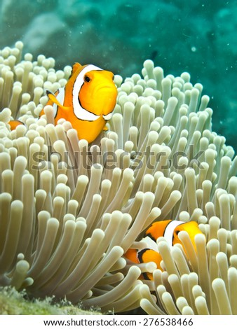 Clownfish (Amphiprion ocellaris) or Nemo in sea anemone - stock photo