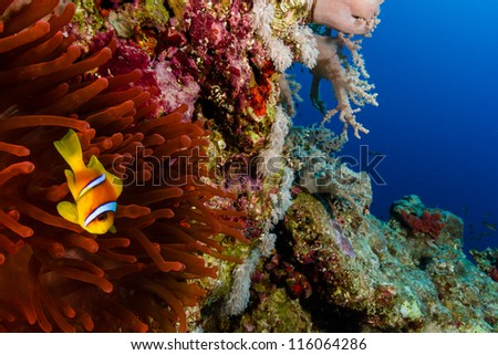Clownfish and a bright red Anemone on a coral reef wall at the Blue Hole in Dahab, Egypt - stock photo