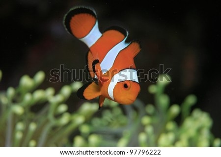 Clownfish and yellow sea anemone - stock photo