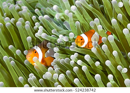 Clownfish family, Amphiprion ocellaris, hiding in host sea anemone Heteractis magnifica.
