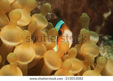 Clownfish hiding in a bubble anemone on a tropical coral reef - stock photo