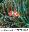 Clownfish hiding in the tentacles of its host anemone - stock photo