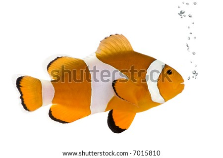 Clownfish in front of a white background - stock photo