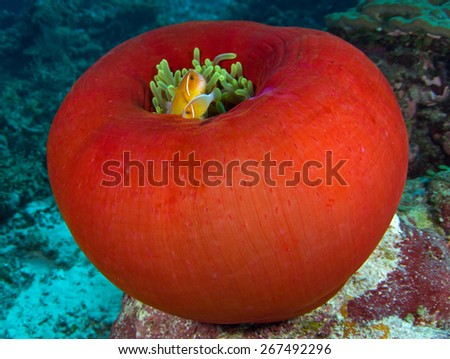 Clownfish in its host anemone in Palau - stock photo