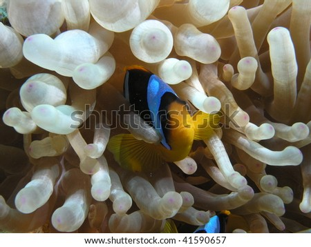 clownfish inside its anemone - stock photo