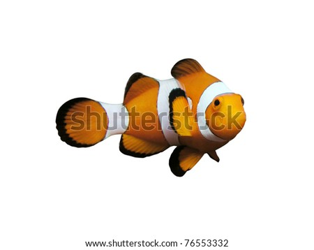 clownfish isolated on white - stock photo