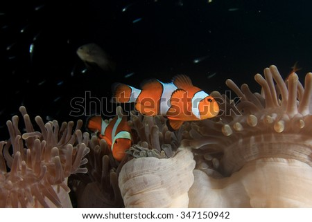 Clownfish nemo fish - stock photo
