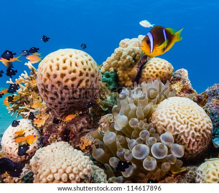 Clownfish next to a bubble anemone and hard coral - stock photo