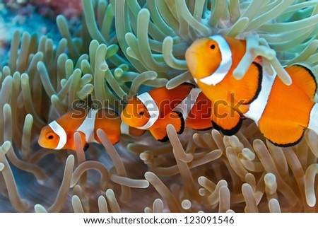 Clownfish on the soft coral - stock photo