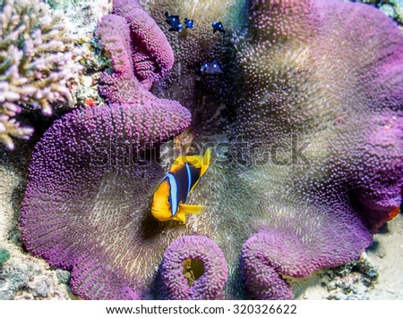 Clownfish or anemonefish are fishes from the subfamily Amphiprioninae in the family Pomacentridae - stock photo