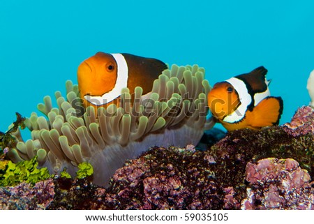 Clownfish pair in anemone in aquarium - stock photo