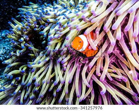 Clownfish peaking out of an anemone. Taken while diving at the Great Barrier Reef, Queensland, Australia. - stock photo