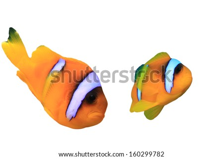 Clownfish (Red Sea Anemonefish) isolated on white background