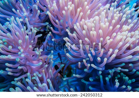 Clownfish shelters in its host anemone on a tropical coral reef - stock photo