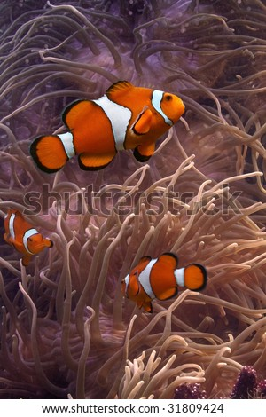 Clownfish - tropical fishes - stock photo