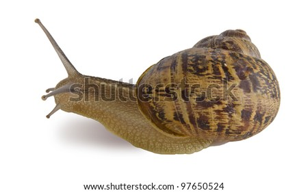Clsoe up of Burgundy (Roman) snail isolated on white background - stock photo