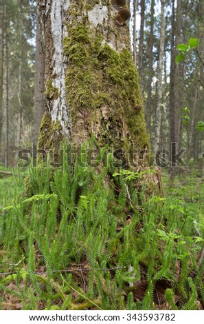 Clubmoss growth