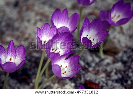 clump of crocuses in the spring the ground