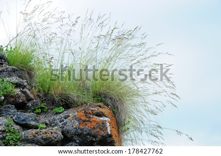 Clump of grass with light airy seed heads growing on the stone - stock photo