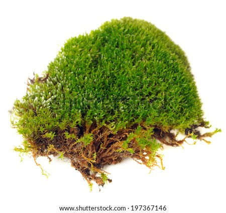 Clump of Moss Close-Up Isolated on White Background - stock photo