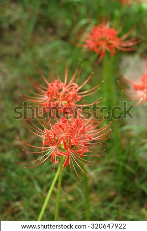 Cluster Amaryllis in Autumn in Japan