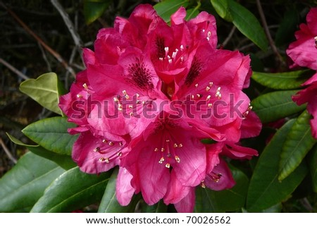 Cluster of Bright Pink Rhododendron Flowers - stock photo
