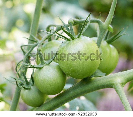 Cluster of green tomatoes on a branch