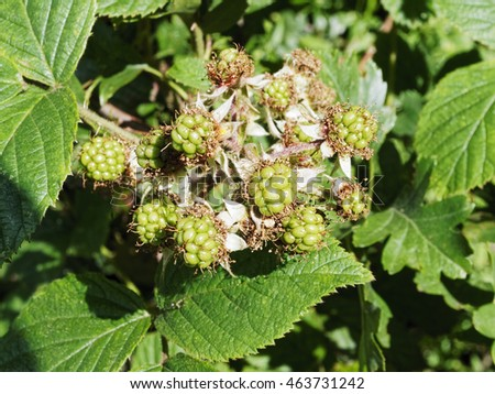 Cluster of green, unripe, blackberries  on a bush with leaves in the background
