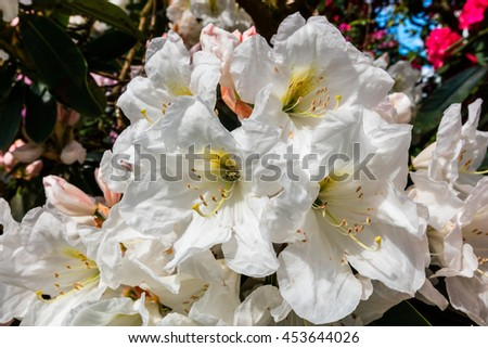 Cluster of large white Rhododendron flowers close-up. - stock photo