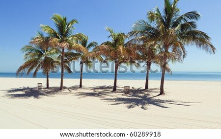 Cluster of Palm Trees against a clear blue sky in Miami's Crandon Park Beach in Miami - stock photo