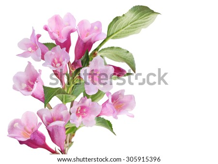 Cluster of pink weigela flower isolated on white background - stock photo