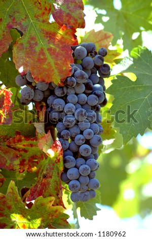 Cluster of ready to pick Pinot Noir grapes in the vineyard with turning leaves. - stock photo