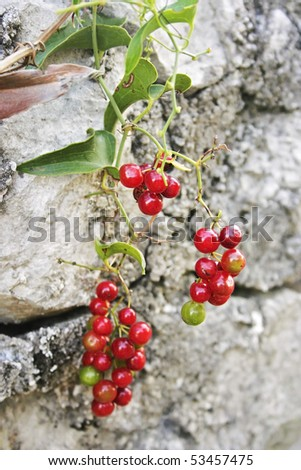Cluster of red berries - stock photo