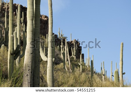 Cluster of Saguaros, Carnegiea gigantea in Tucson Arizona - stock photo