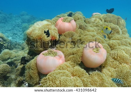 Cluster of sea anemones, Heteractis magnifica, underwater with tropical fish, Huahine, Pacific ocean, French Polynesia - stock photo