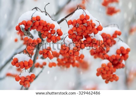 Clusters of a ripe bright mountain ash in snow - stock photo