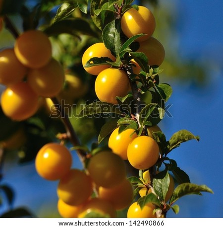 Clusters of delicious yellow plums hanging from the branch with unfocused  foreground and background