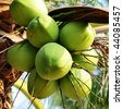 Clusters of freen coconuts close-up hanging on palm tree - stock photo